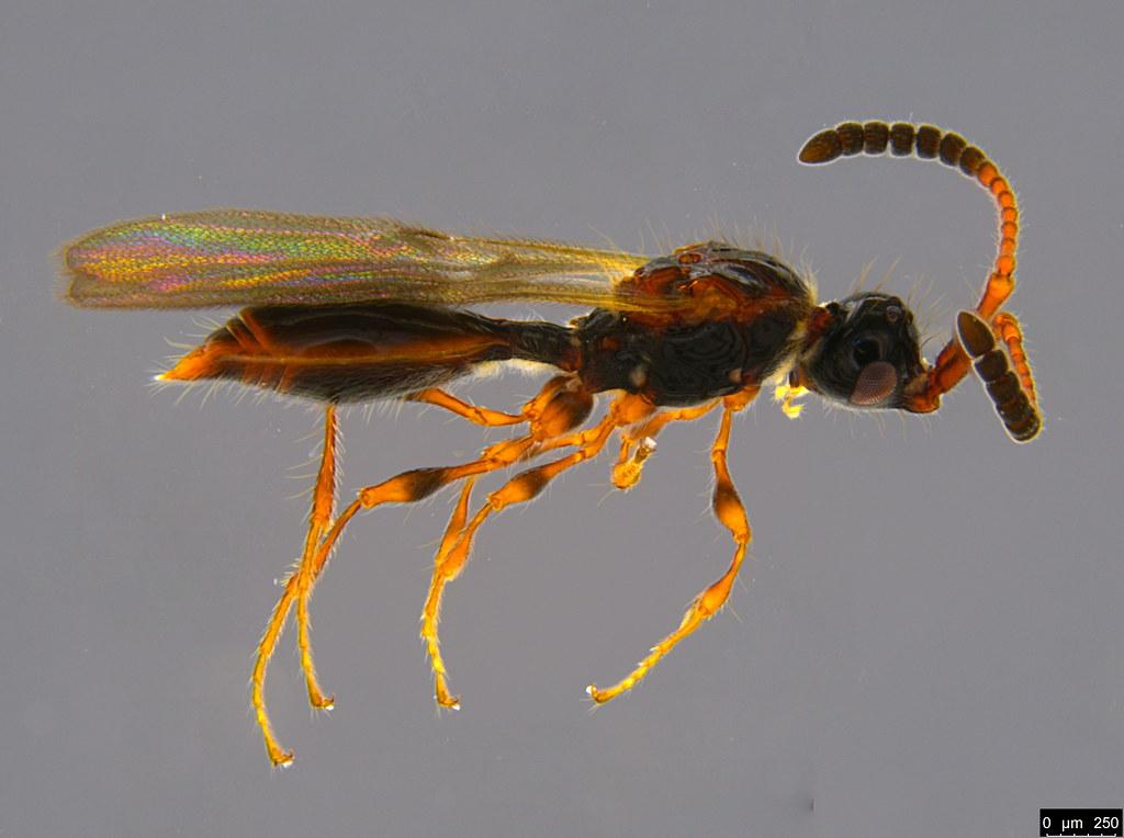 10a - Ambositrinae sp.