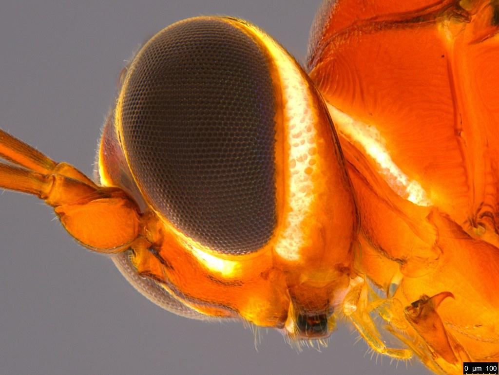 18c - Ichneumonidae sp.