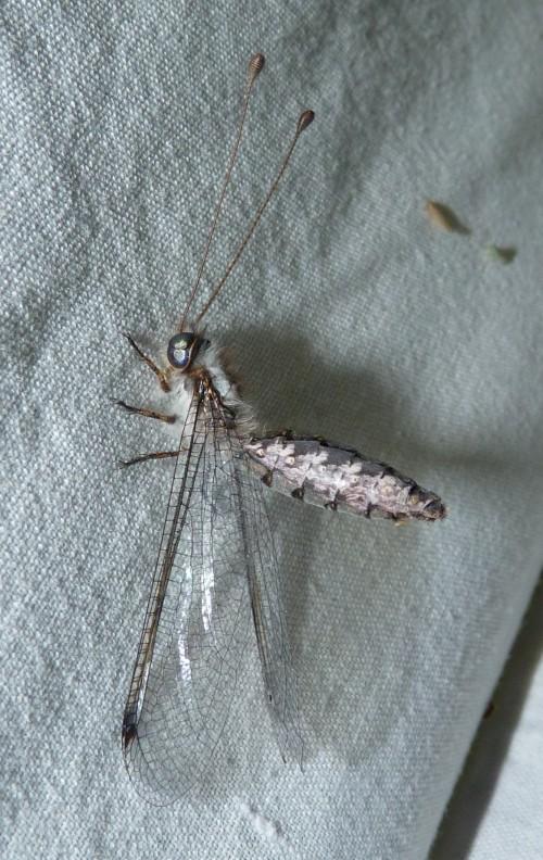 Bubopsis agrionoides 51399714909_5b065496ff_o