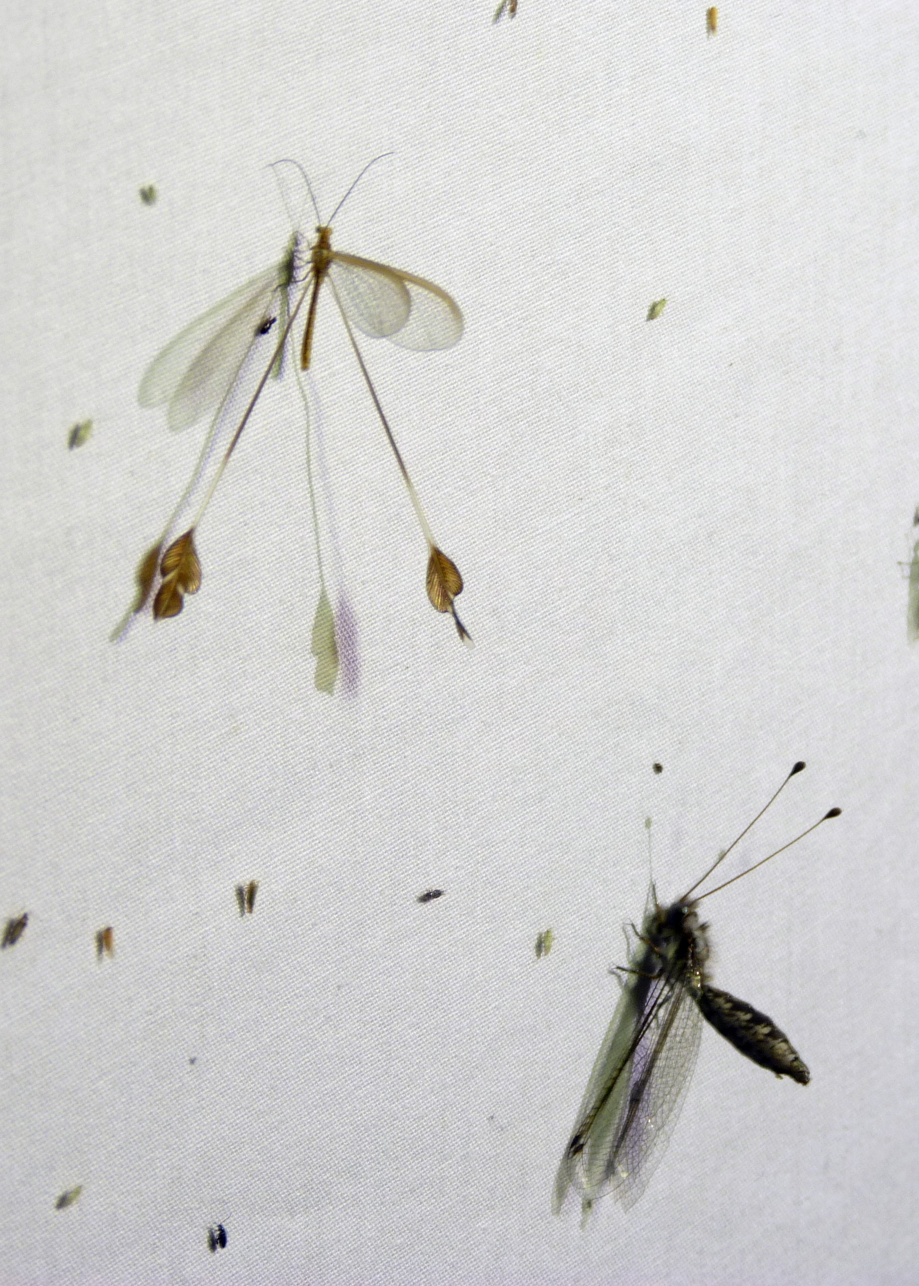 Bubopsis agrionoides 51399714994_e7acdbc3fd_o