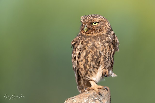Mochuelo europeo / Little owl (Athene noctua)