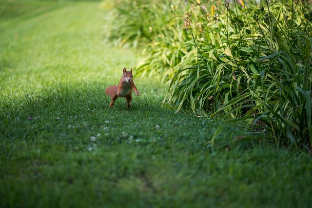 Squirrel hopping around on a grass field