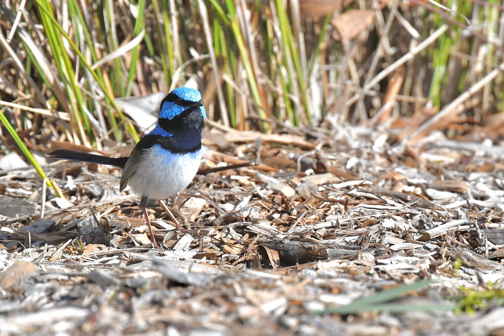 Superb Fairy-wren  ( now lets see )