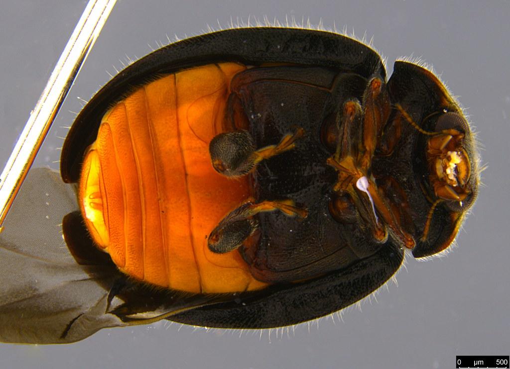 2c - Coccinellidae sp.