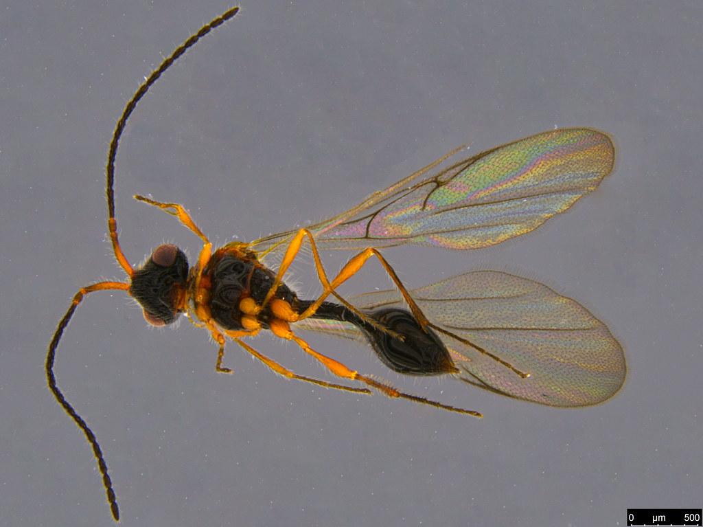 9b - Belytinae sp.