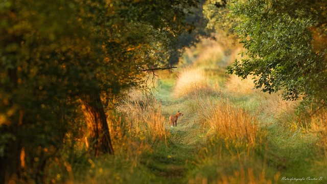 Fuchs / Fox