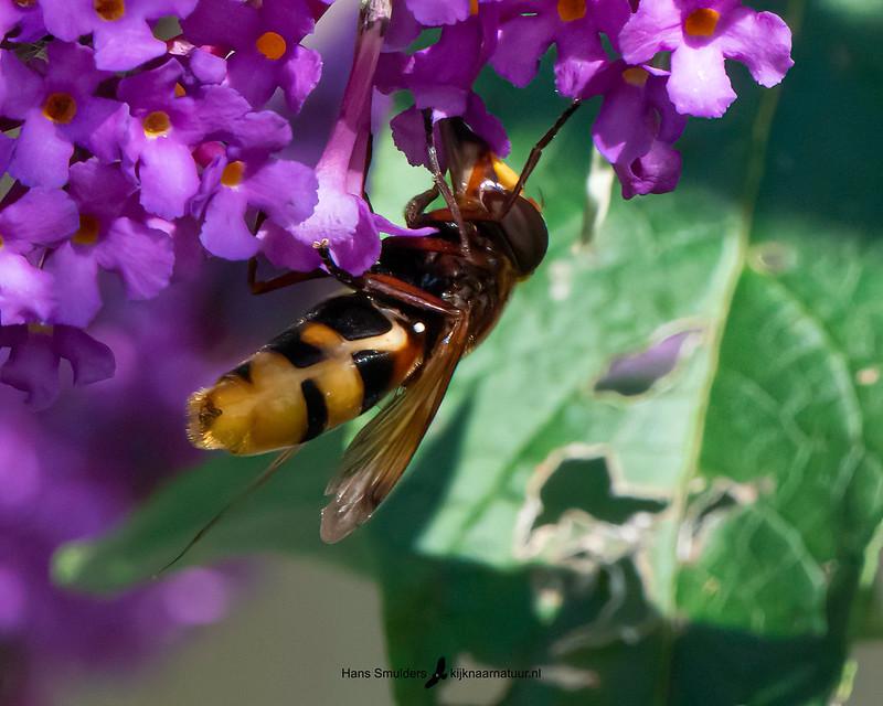 hoornaarzweefvlieg (Volucella zonaria)-850_5019