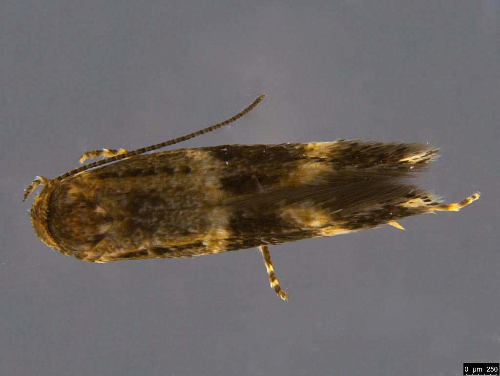 19a - Elachistidae sp.