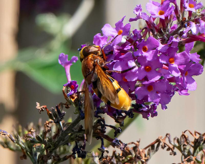 hoornaarzweefvlieg (Volucella zonaria)-850_5029