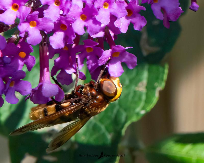 hoornaarzweefvlieg (Volucella zonaria)-850_5021-bewerkt