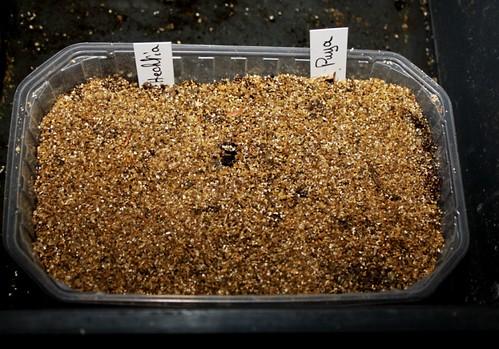 semis de Bromeliaceae 51400578265_85dfdbbbdb