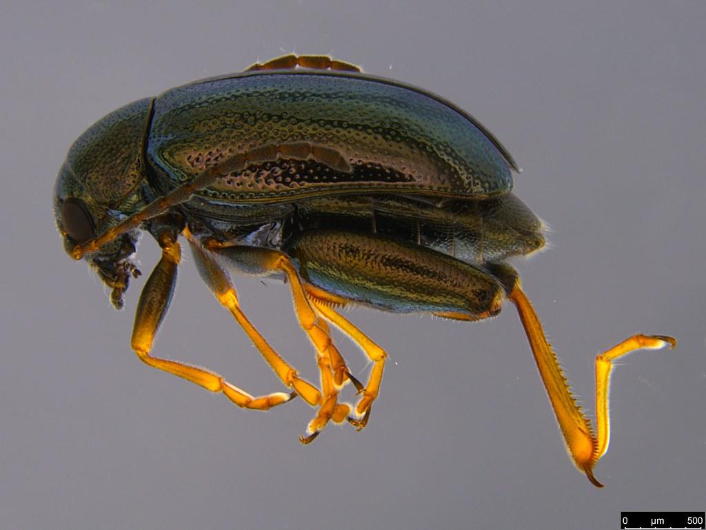 3 - Longitarsus echii (Koch, 1803)