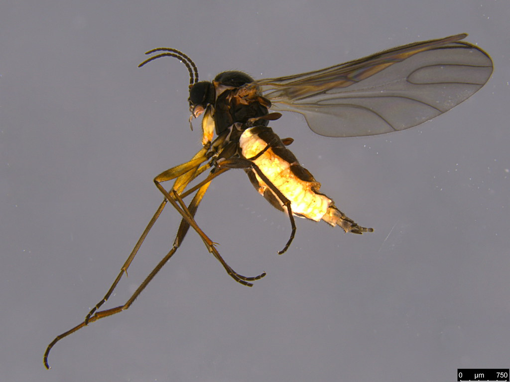 4 - Sciaridae sp.