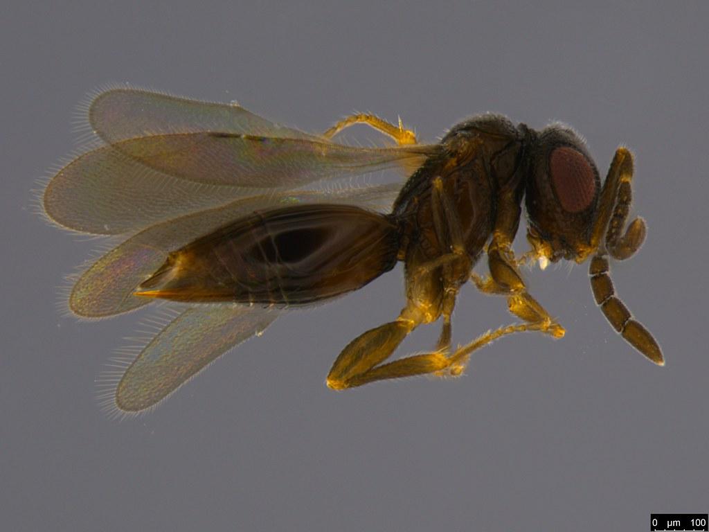 8a - Scelionidae sp.