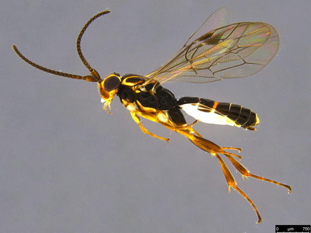 15a - Orthocentrus sp.