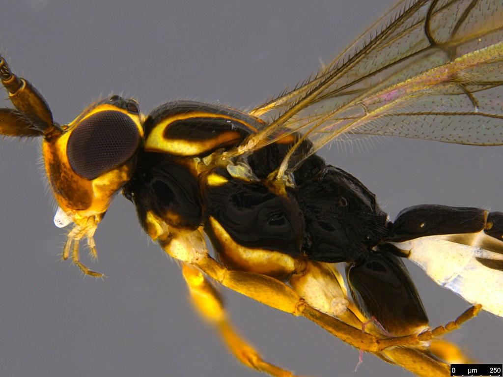 15b - Orthocentrus sp.