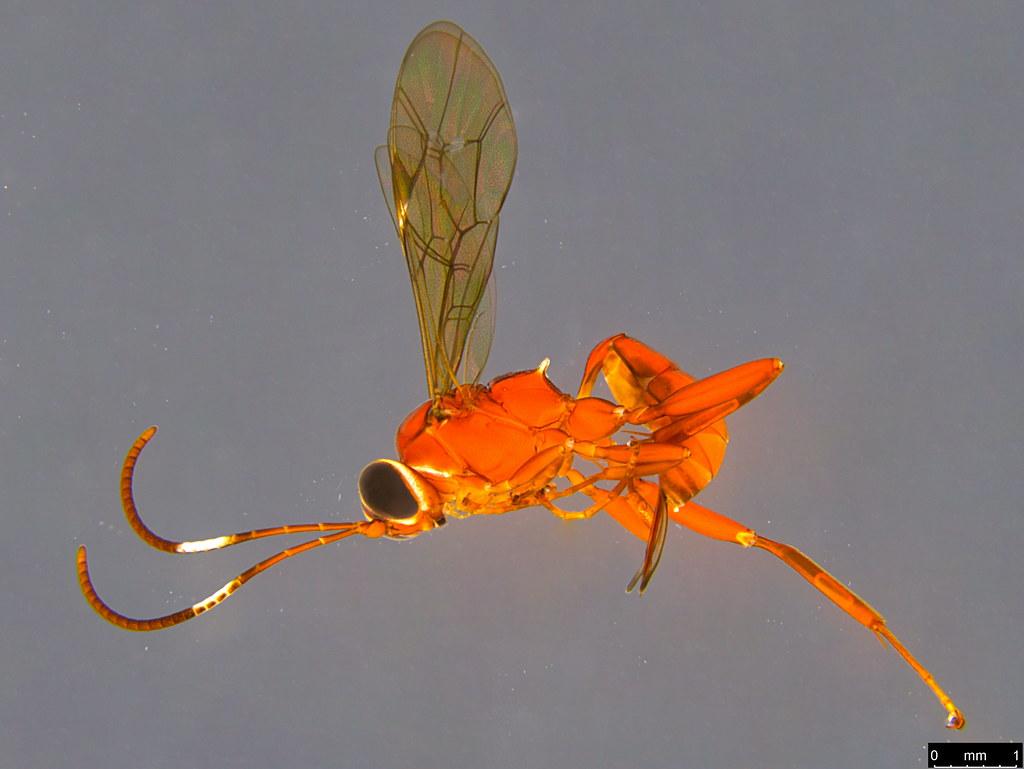 18a - Ichneumonidae sp.