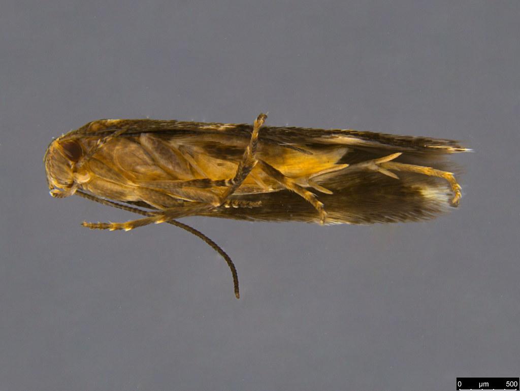 19b - Elachistidae sp.