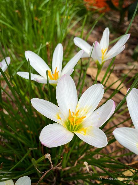 Zephyranthes candida