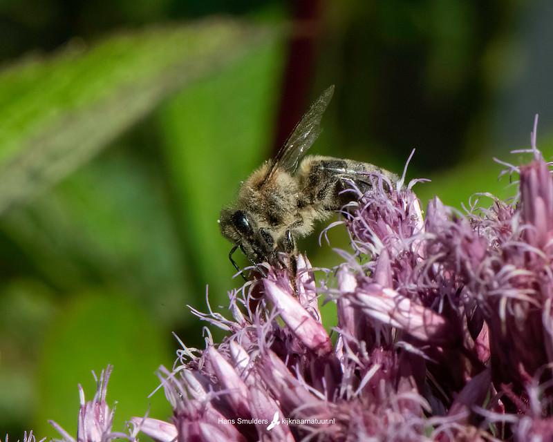 honingbij (Apis mellifera)-850_5082