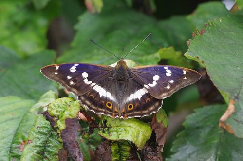 apaturairis barhill cambridgeshire butterfly cherrytree garen insect nature purpleemperor wild wildlife