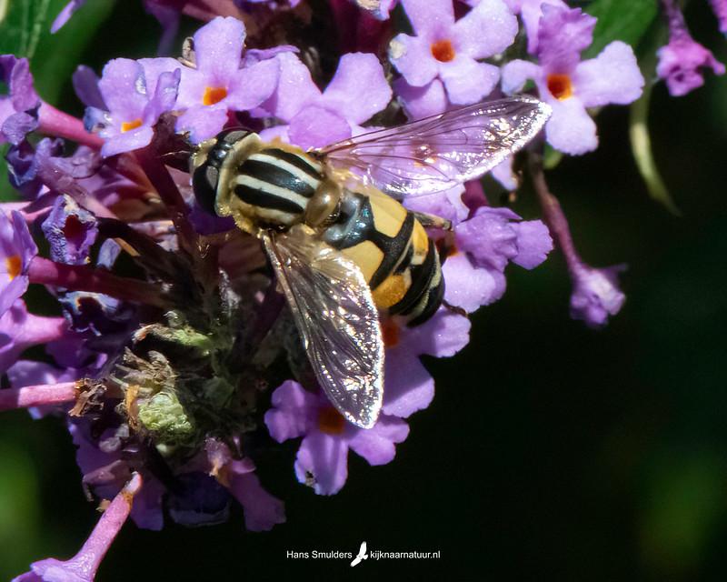 Citroenpendelzweefvlieg (Helophilus trivittatus)-850_5066