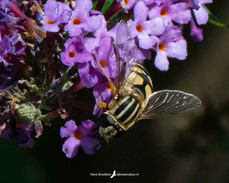 Citroenpendelzweefvlieg (Helophilus trivittatus)-850_5063