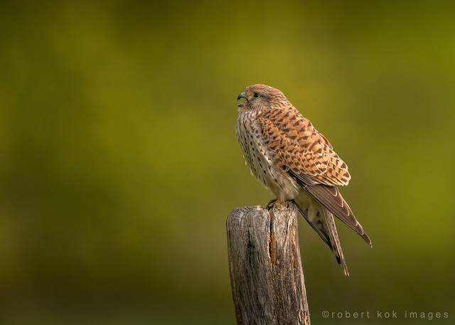 European Kestrel / Falco tinnunculus