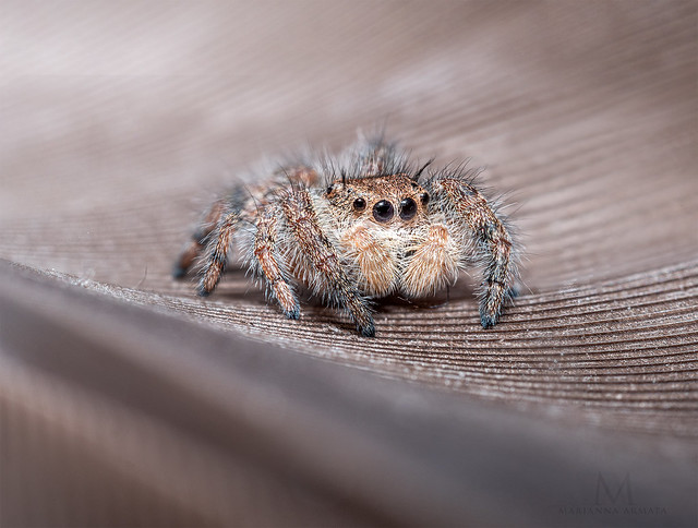jumping spider on a feather