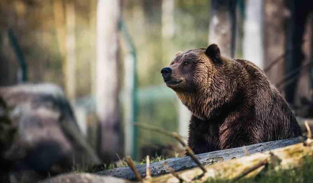 Suivre la résistance aux antibiotiques dans la plaque dentaire des ours