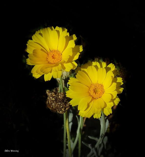 Baileya multiradiata - Desert Marigold   5402