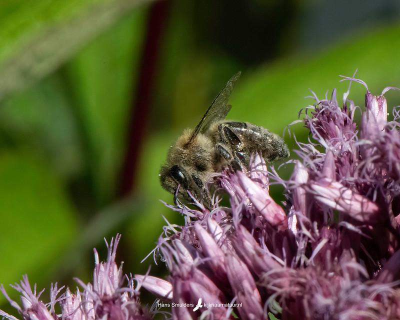 honingbij (Apis mellifera)-850_5084