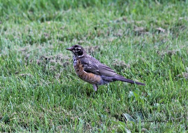 American Robin (Turdus migratorius)(Juvenile)