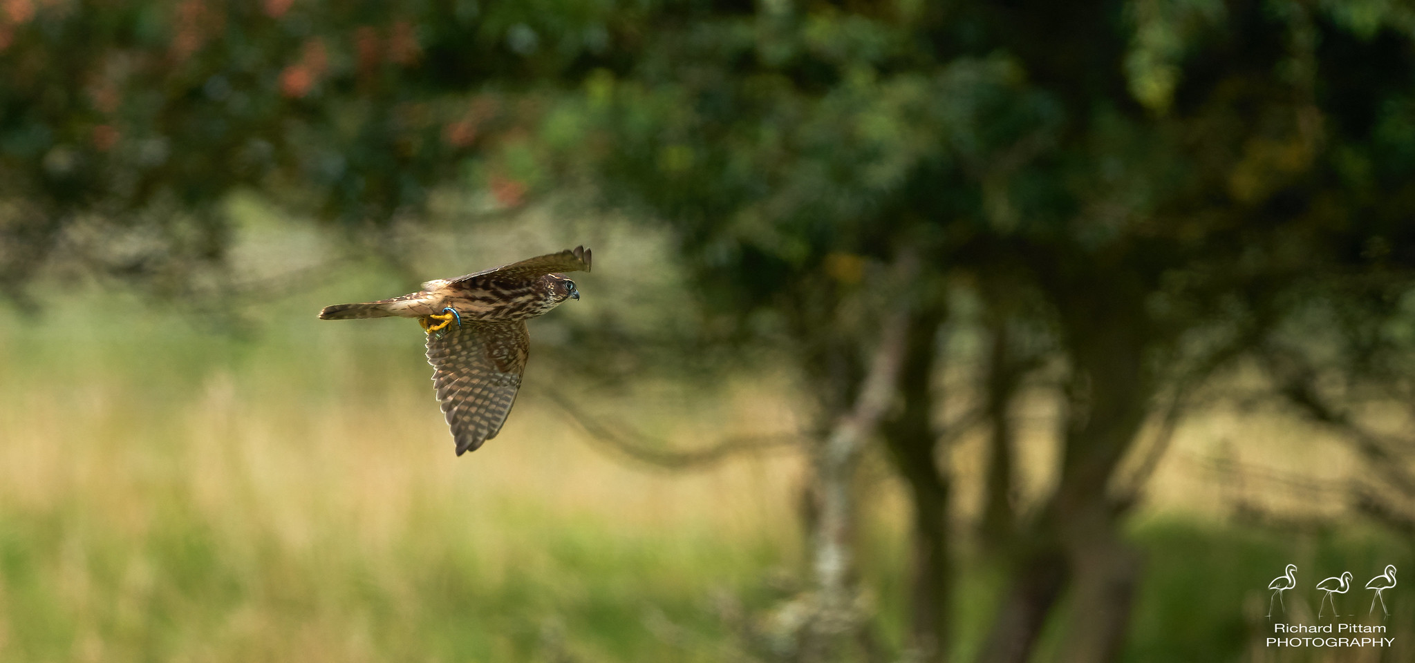 Young Merlin - thought these images were worth saving as not every day you see a Merlin - especially one catching Dragonflies
