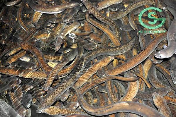 Mô hình nuôi cá chình trong bể xi măng