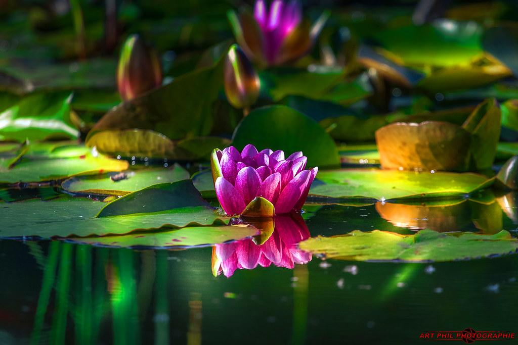Fleurs et  Pétales de Couleurs Lotus