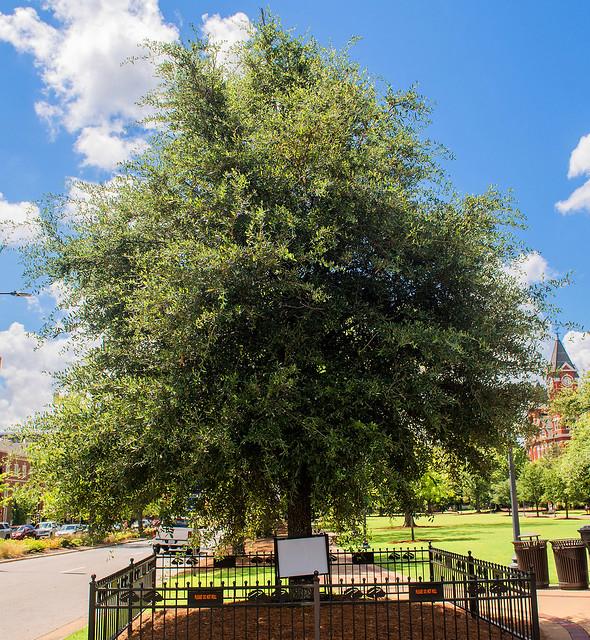 Auburn Oak on College Street.