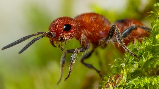 Velvet Ant 2