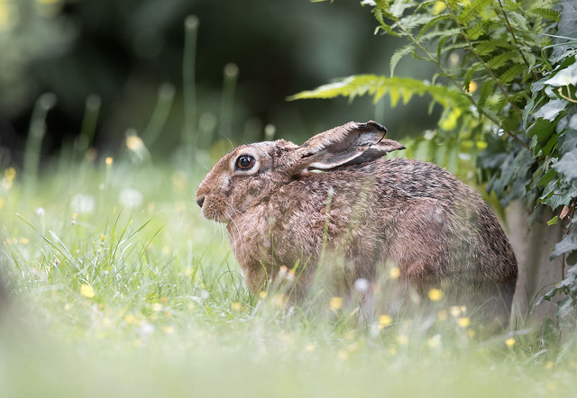 Hare - Hase