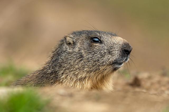 Alpine Marmot (on Explore! ⭐ August 26, 2021)