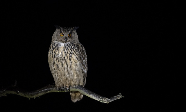 Eagle Owl and Black Grouse 2–6 April 2022