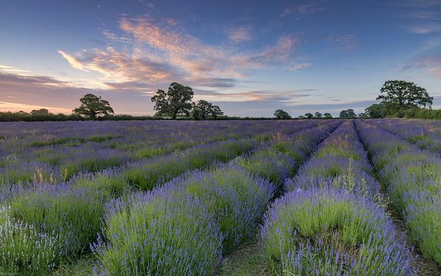 *Somerset lavender field*