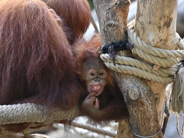 Sumatra Orang-Utan-Baby;