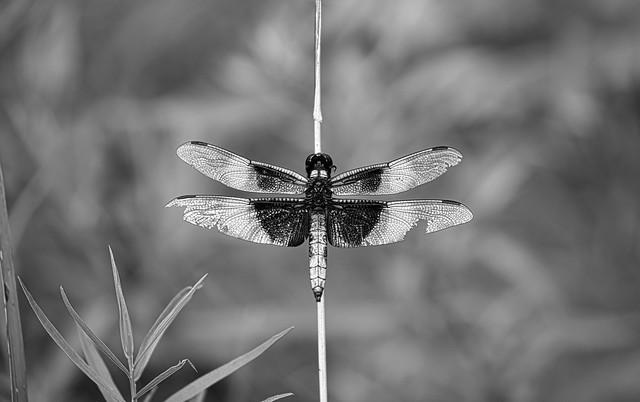 Widow skimmer broken wings