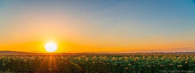 Sunflowers panorama