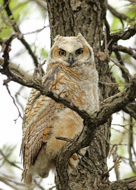 Great Horned Owlet...#16