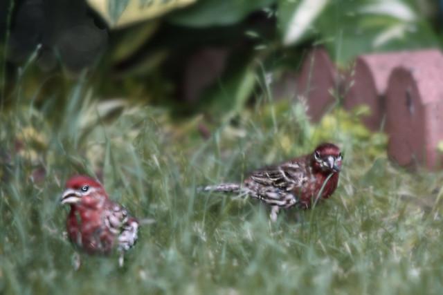 Charming Finch Duo