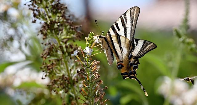 Papallona Zebrada ( Iphiclides feisthamelii )