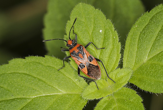 Rhopalid Bug - Corizus hyoscyami