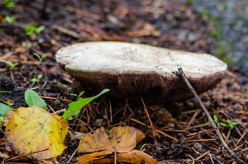 Pavement Mushroom Agaricus bitorquis, growing on pavement